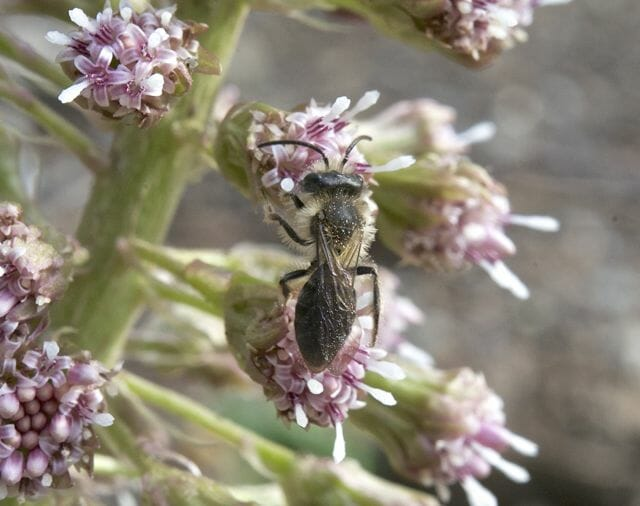 genus Andrena mining bee on Petasites