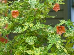 Things in pots full of soil, not just water, always get a lot of inquiries, though they were just planted and still quite sparse. A pair of variegated Abutilon standards were a hit. (Tender; must overwinter in a greenhouse or house.)