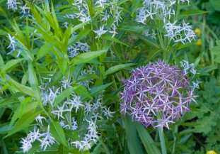 The Amsonia and an adjacent Allium, lots of starry little blooms.