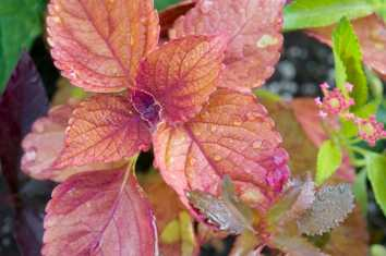 Coleus 'Sedona' is a great unifier in pots, helping orange, purple, and pinky-purples and even a bit of yellow all go together.