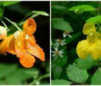 Wikipedia jewelweed flowers CC BY-SA 2.5 license