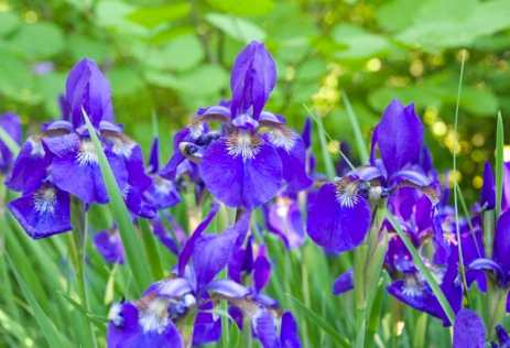 I was happy that my Siberian irises got raves, not because they are at all special, but only because they are one of two plants (the other was the umbrella pine) that I brought from my first garden, at my parents' home, 28 years ago to start my garden here. We three soldier on still together.