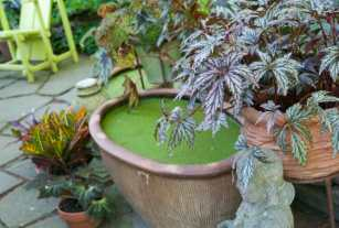 Long before they got to the Chionanthus, though, visitors wanted to know: What's that green stuff on your water pots and in your water gardens? I float duckweed (Lemna) and fairy moss (Azolla), for frog camouflage and to shade water, deterring algae. And it's pretty.