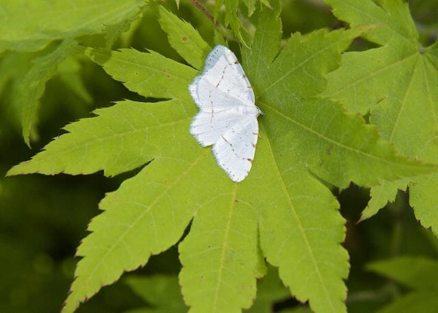 lesser maple spanworm moth on acer pseudosieboldianum