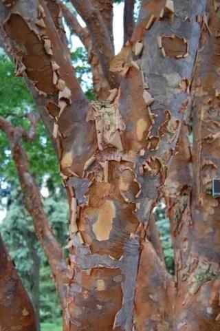Acer griseum bark