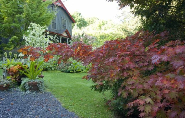 Welcome! The Korean maple, Acer pseudosieboldianum, alongside the driveway is already in full red fall color.
