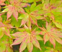 japanese maples and other choice acer, with adam wheeler of broken arrow