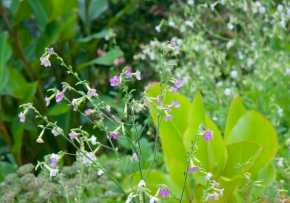 You'll see a lot of self-sown Nicotiana everywhere, which migrating hummingbirds stop in to sip at for weeks in August and September.