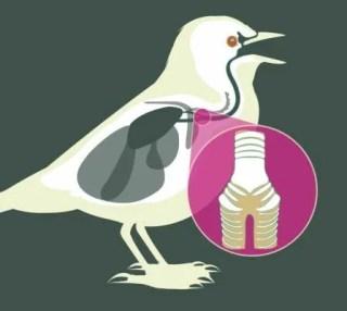 lab of o songbird syrinx