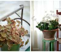 growing begonias, with tovah martin