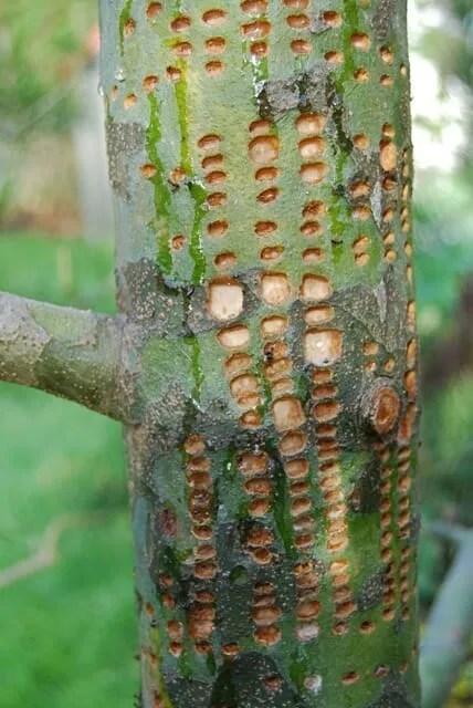 Pinus bungeana damage by sapsucker