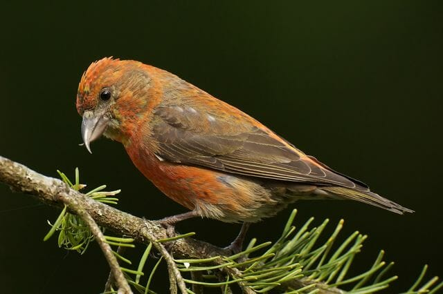 Red-Crossbill-male-Gregg-Thompson-640