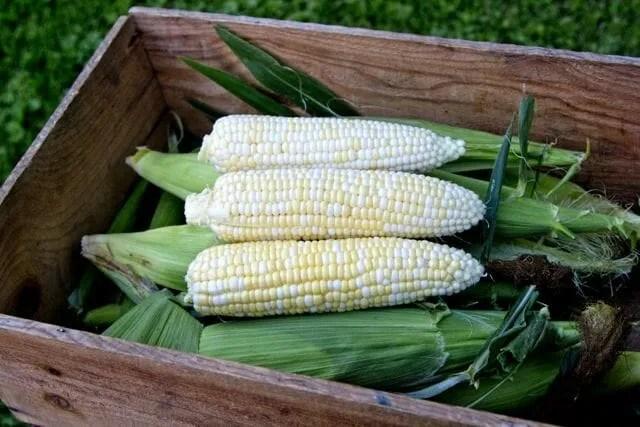 WGK Sweet Corn Variety Image_High Mowing Organic Seeds