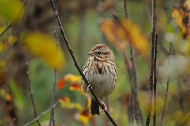 Song Sparrow © Putneypics