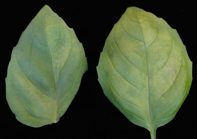 basil downy mildew by robert wick