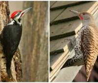 birdnote q&a: woodpecker drumming