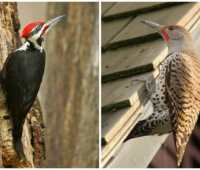 birdnote q&a: woodpecker drumming