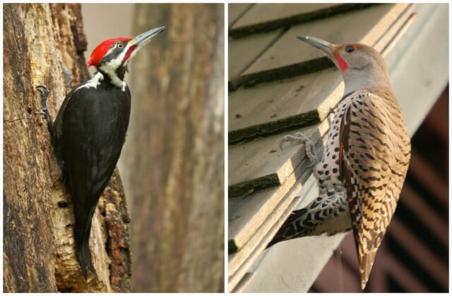 pileated and flicker