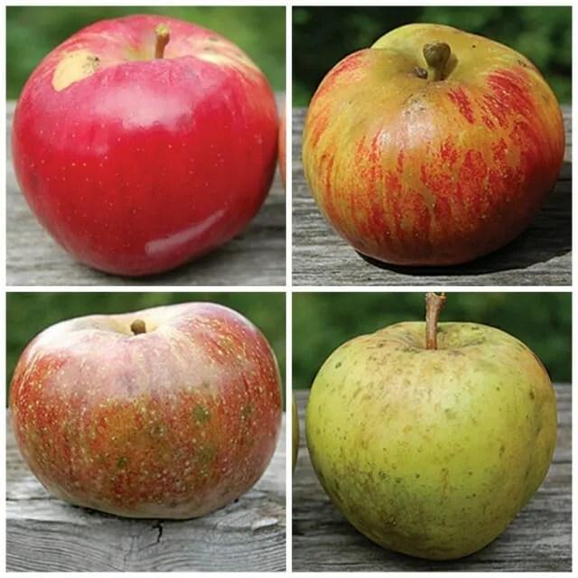 seedsavers apple 1