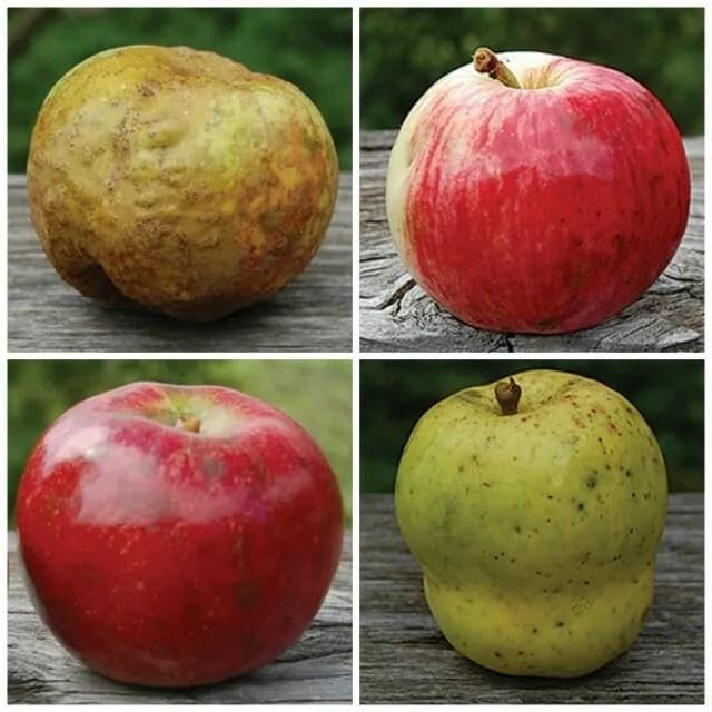 seedsavers apples 4
