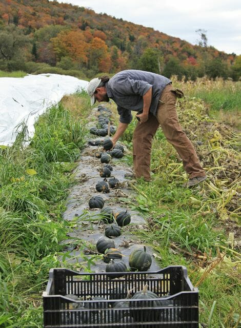 Harvesting Winter Squash - Dave