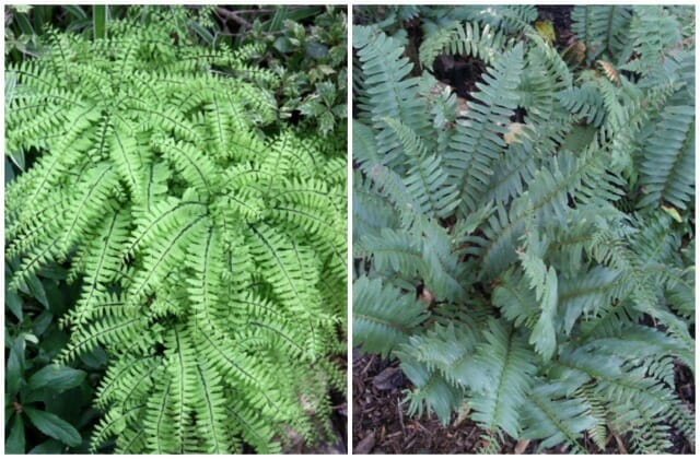 plant delights maidenhair and christmas ferns