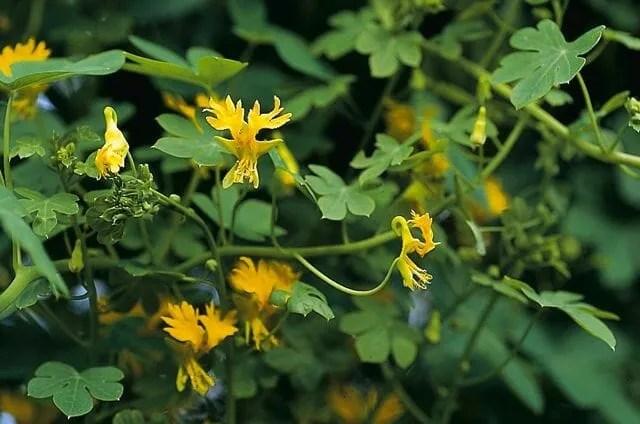 canary bird vine tropaeolum peregrinum s219