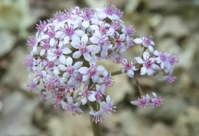 darmera peltata flowers