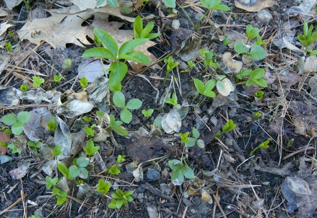 hellebore seedlings
