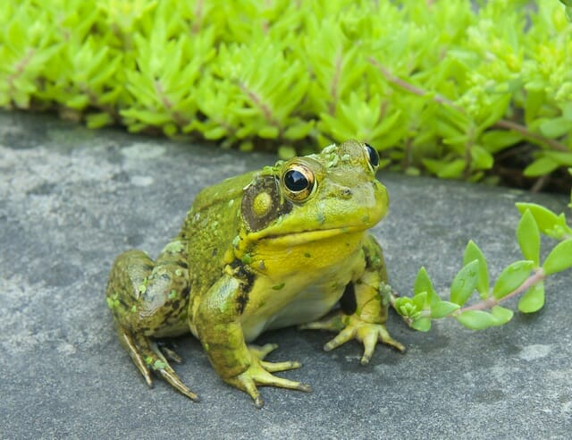 2015 male frog