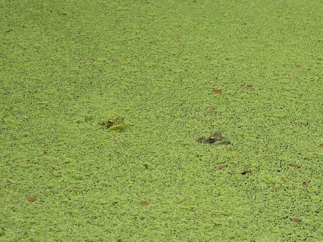 frogs in pondweed