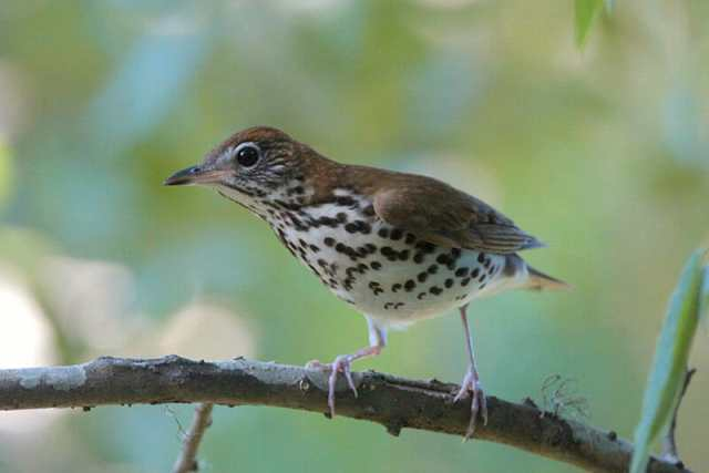 Wood-Thrush-Joanne-Kamo