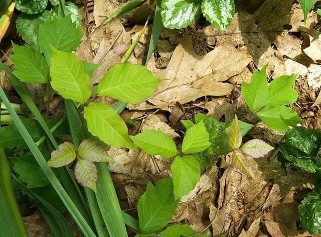 poison ivy 3