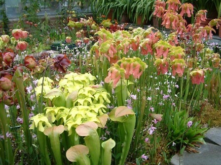 pitcher-plants-tlm