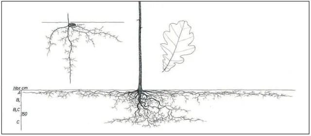 quercus robur roots from kourik book 2