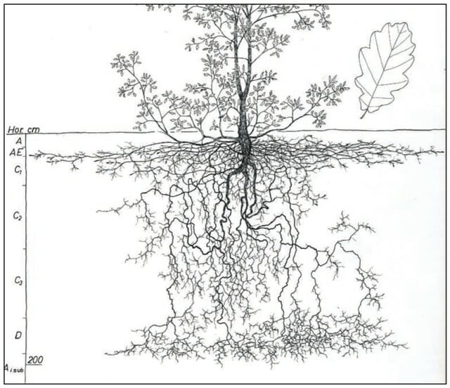 quercus robur roots from kourik book