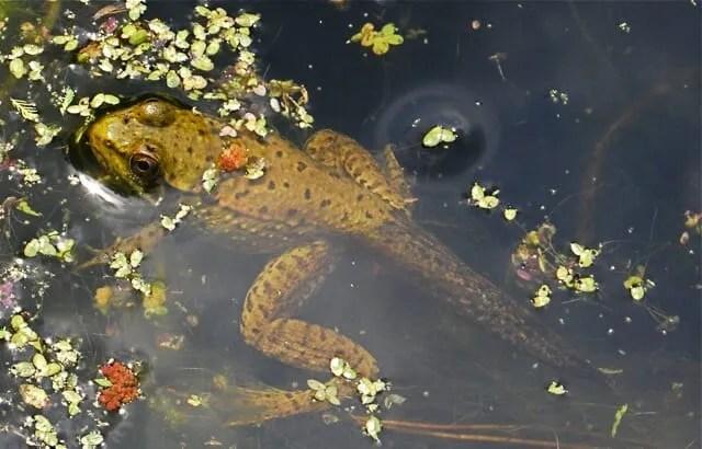 tadpole with legs