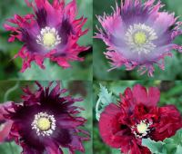 growing annual poppies, with marilyn barlow