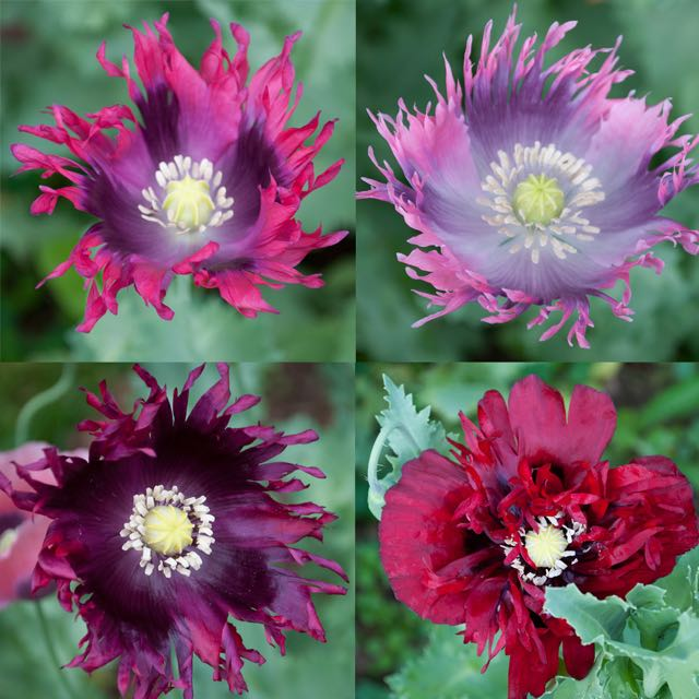 Growing annual poppies with marilyn barlow a way to garden i dont recall where the annual poppies that have been replanting themselves here and there around my garden for decades came from in the first place mightylinksfo