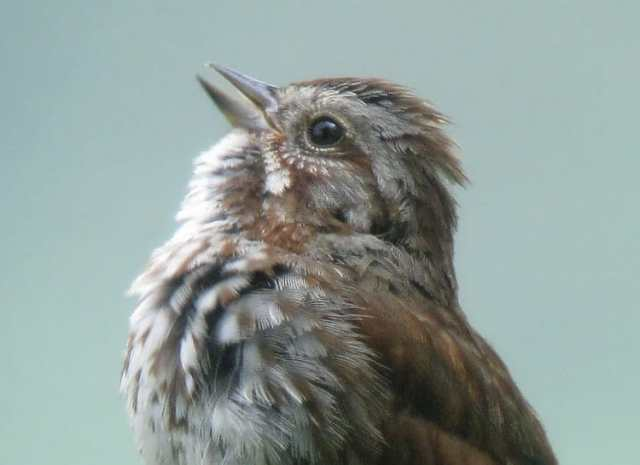 05 - song sparrow singing 2