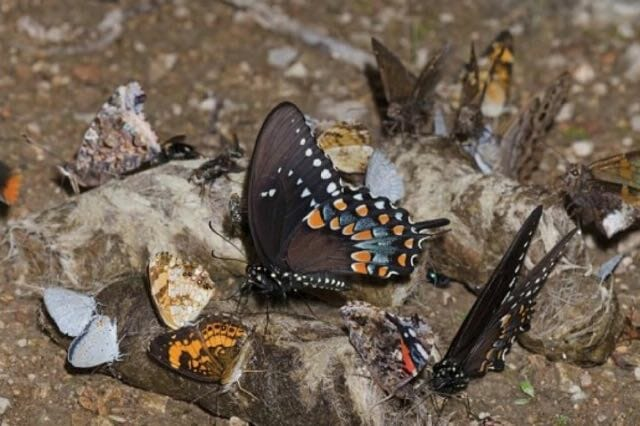 Butterflies on coyote scat by Bryan E. Reynolds