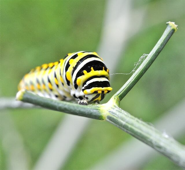 black swallowtail caterpillar closeup