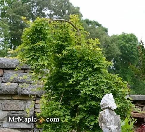 acer-palmatum-ryusen-japanese-maple