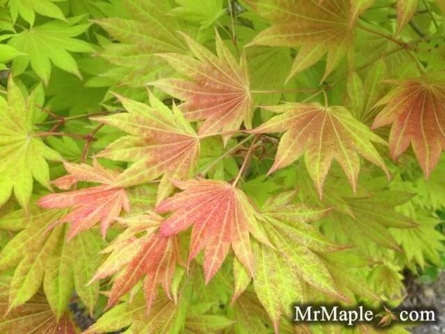 buy-acer-shirasawanum-moonrise-japanese-maple-tree-2