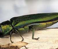getting smarter about imported forest pests, with cary institute's dr. gary lovett