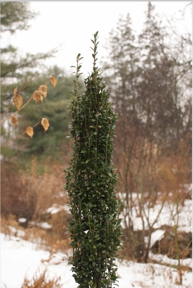buxus-graham-blandy-lr