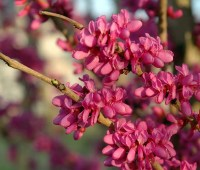 redbuds, mahonia and more, with j.c. raulston arboretum's mark weathington
