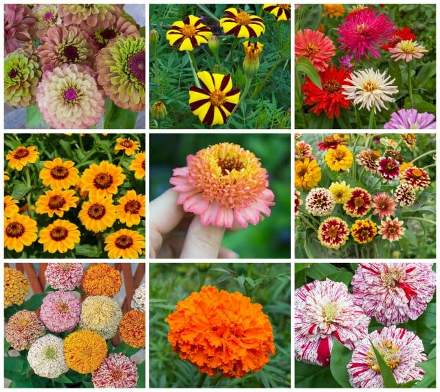 a diversity of marigolds and zinnias old and new, with marilyn ...