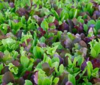 mesclun 101, with kate spring of good heart farmstead
