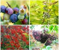 bird gardening: powerhouse fruiting plants, with andy brand